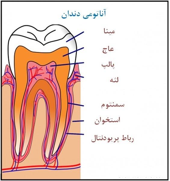 ساختار دندان به صورت ساده در تصویر بالا نشان داده شده است. بخش سفید رنگ بالای دندان که شامل مینا، عاج و بخشی از پالپ می باشد تاج نام دارد و به بخشی از آن که پایینتر از مرز لثه است، ریشه گفته میشود.
