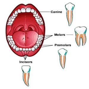 موقعیت انواع دندانها در دهان به ترتیب از بالا به پایین تصویر: نیش، آسیاب بزرگ، آسیاب کوچک، پیشین یا جلویی